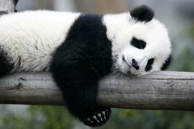 pandabear1