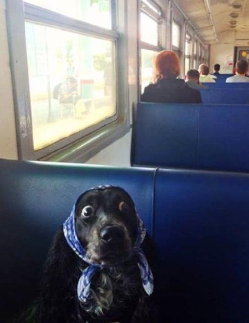 funny-dog-train-scarf-walk-surprise2
